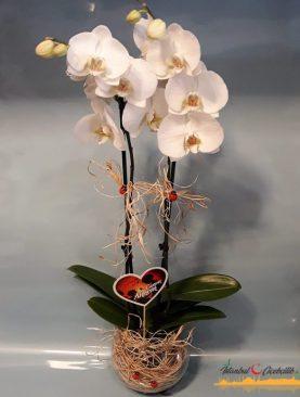 Cam Fanusta 2 Dal Beyaz Orkide Çiçeği