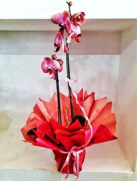 Kırmızı Orkide (Çift)