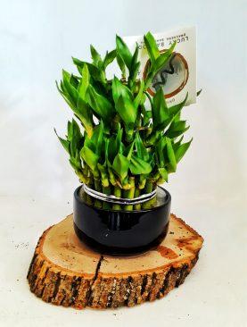 Bambu saksıda