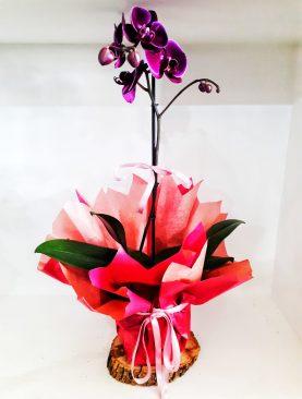 Kırmızı Orkide (Tek)