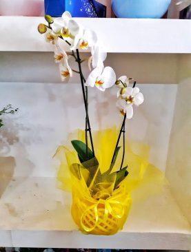 Dekoratif çift dal ithal orkide