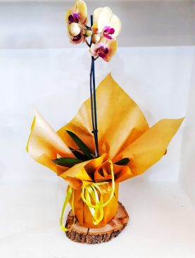 Turuncu Orkide