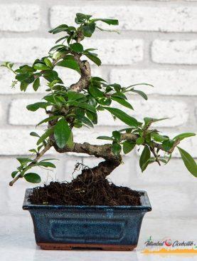 Zelkova Bonsai 45 cm
