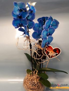 Cam Saksısında Mavi Orkide