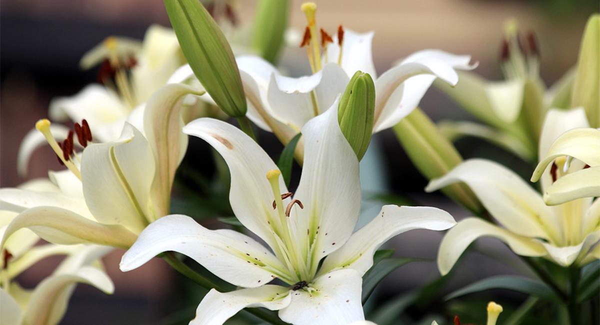 Lilyum Çiçeği Bakımı Nasıl Olmalıdır?