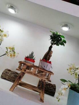 Kasa İçinde Ficus Bonsai ve Kaktüs